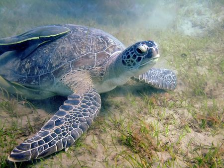 Underwater landscape with turtle. The Red Sea photo