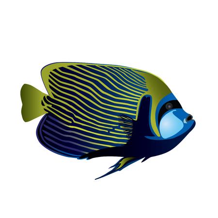 Tropical fish Angelfish Vector