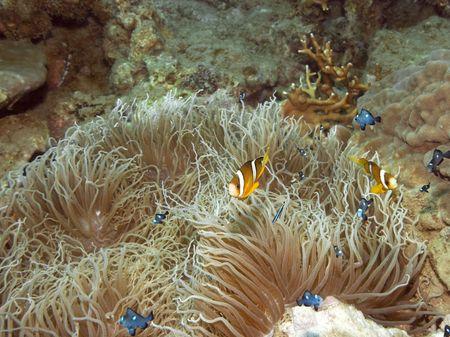 damsels: Orange-finned clownfish and Anemone. Indo-pasific ocean.