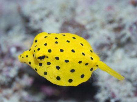 boxfish: Small boxfish underwater close-up. Celebes sea. Sipadan. Stock Photo