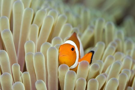 Anemone and Nemoish close-up. Sipadan. Celebes sea Imagens