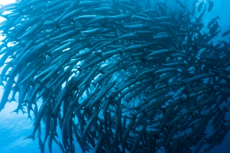 School of barracudas underwater. Sipadan. Celebes sea