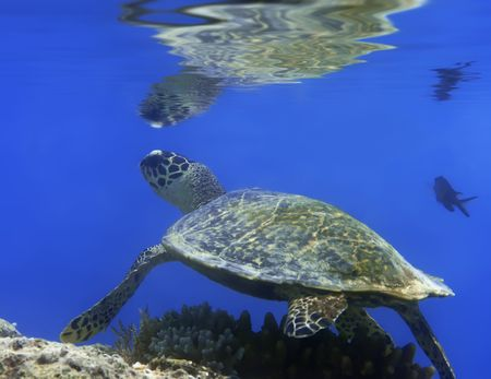 Green turtle underwater. Reflection on surface. Borneo. Stock Photo - 3073976