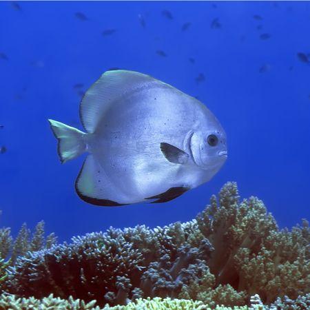 Tropical fish Batfish underwater. Sipadan. celebes sea photo