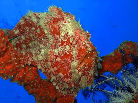 celebes: Tropical fish Stonefish underwater. Sipadan. Celebes sea