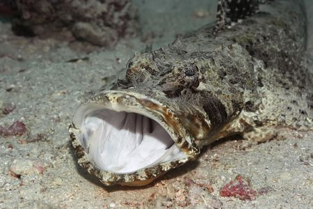 celebes: Crocodilefish with opened mouth on the bottom underwater. Celebes sea. Sipadan.