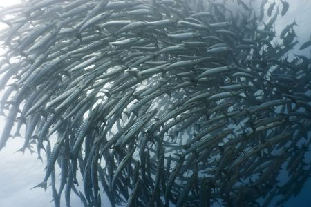 School of barracudas underwater. Sipadan. Celebes sea photo
