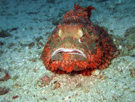 Scorpionfish on the bottom underwater. Borneo island photo