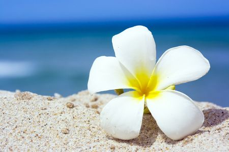 alba: Tropical flower Plumeria alba on the sandy beach