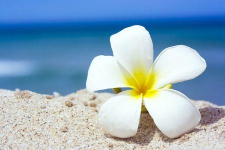 Tropische Blume Plumeria alba auf dem Sandstrand  Standard-Bild