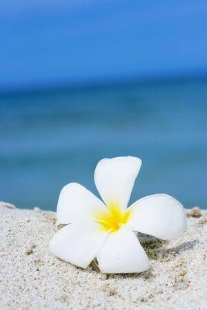 Tropical flower Plumeria alba on the sandy beach