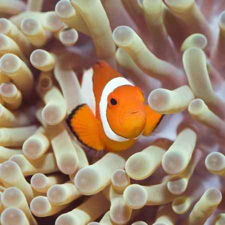 marine coral: Anemone and Clownfish close-up. Sipadan. Celebes sea Stock Photo