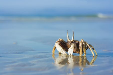 blue crab: reflection of crab on the tropical beach