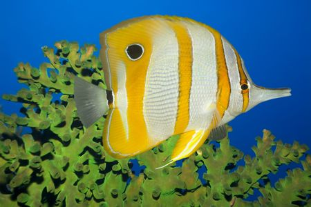 butterflyfish: Tropical fish Butterflyfish and green coral. Sipadan. Celebes sea Stock Photo