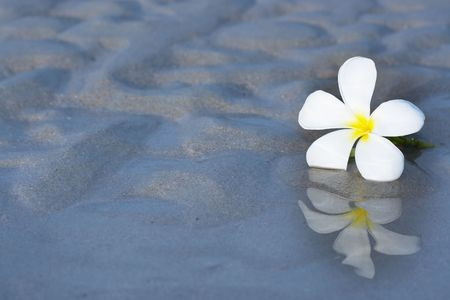 Reflection of tropical flower Plumeria with copy-space.