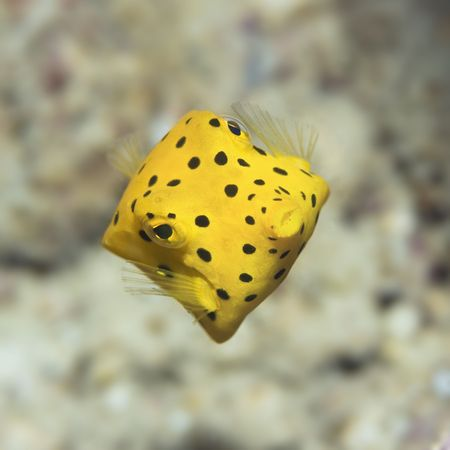blackspotted: Small boxfish underwater close-up. Celebes sea. Sipadan. Stock Photo