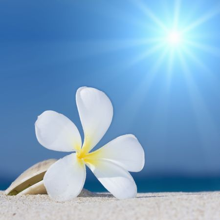 alba: Tropical flower Plumeria alba and seashell on the sandy beach