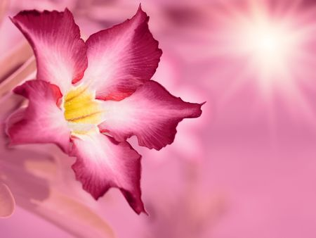Floral background. Pink Adenium flower. Desert rose. photo