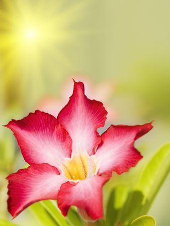 Floral background. Tropical flower Pink Adenium. Desert rose. Stock Photo - 3507989