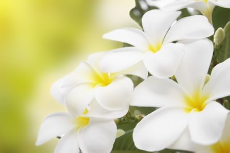 Plumeria alba flowers isolated on abstract blur background. photo