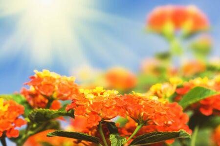 lantana: Tropical flowers Lantana on sunny sky background Stock Photo