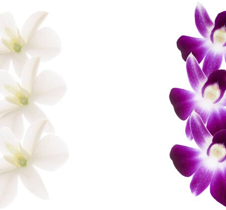 purple orchid: Purple and white orchids frame. Branch on white background.