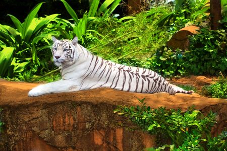 day time: White tiger relaxing outdoor at day time
