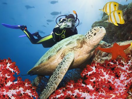 tortue verte: Tortue verte sous un corail. Sipadan. Mer de C�l�bes