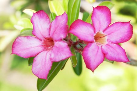 Floral background. Tropical flower Pink Adenium. Desert rose. Stock Photo - 4681384