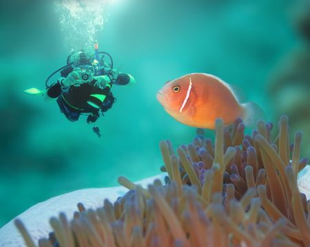 windflower: Diver and Pink clownfish close-up. Borneo island Stock Photo