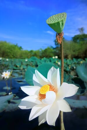 Beaautiful lotus flower in lake at sunny day photo