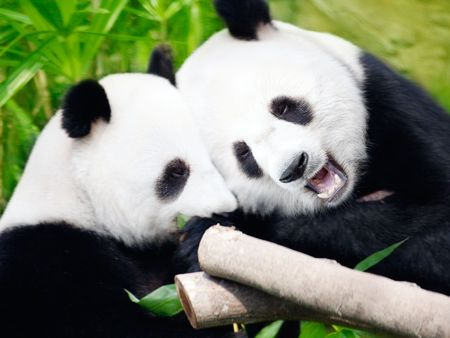herbivorous: Couple of cute giant pandas eating bamboo shoots