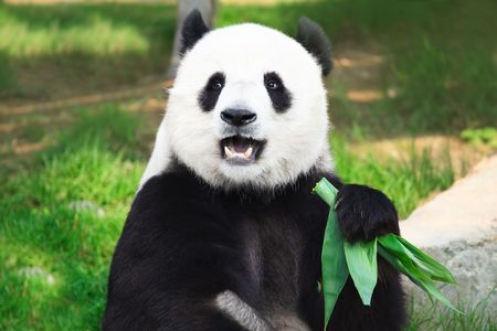 herbivorous animals: Giant panda is eating green bamboo leaf