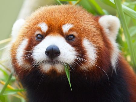 herbivorous animals: The Red Panda, Firefox or Lesser Panda (taxonomic name: Ailurus fulgens, shining cat)