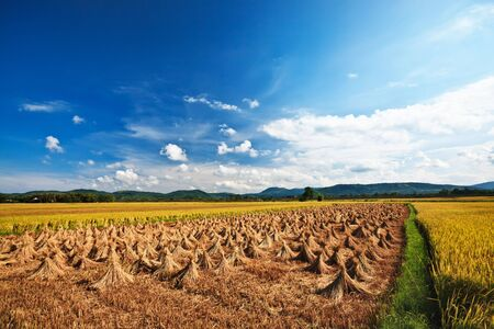 collected: rural landscape with rice field and collected crop Stock Photo