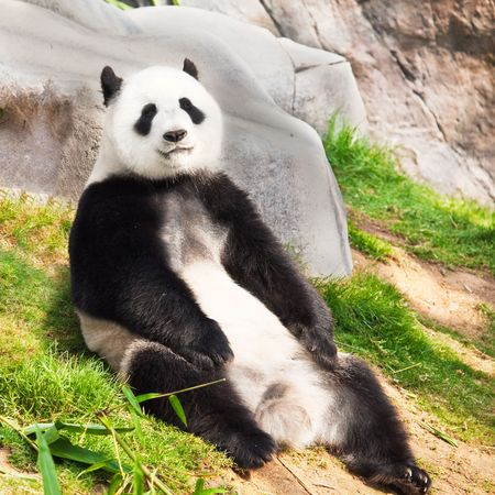 Giant panda is sitting on the green grass