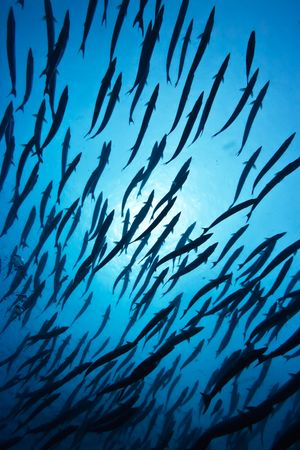 barracuda: School of barracudas underwater and sunlight. Sipadan island Stock Photo