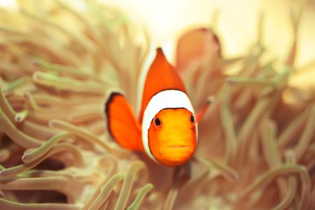 ocellaris: Anemone and Ocellaris clownfish close-up underwater