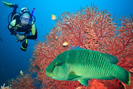 Underwater landscape with scuba diver, gorgonian coral and napoleon