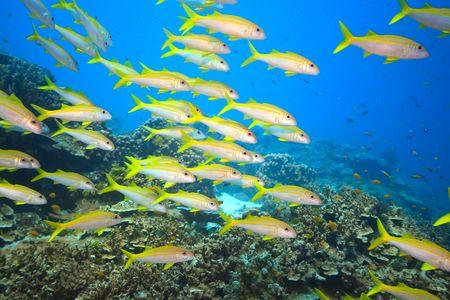 School of yellowfin goatfish (Mulloidichthys vanicolensis) underwater. Andaman sea Stock Photo - 6196818