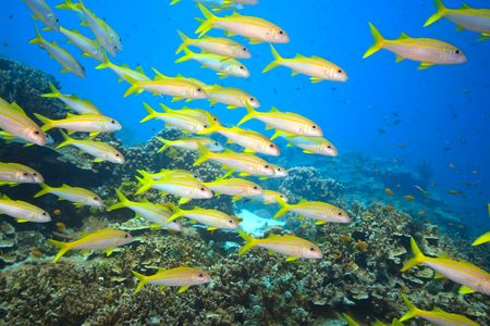 School of yellowfin goatfish (Mulloidichthys vanicolensis) underwater. Andaman sea Stock Photo - 6196818
