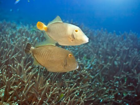 Couple of Halfmoon triggerfishes swimming underwater. Andaman sea. Stock Photo - 6322875
