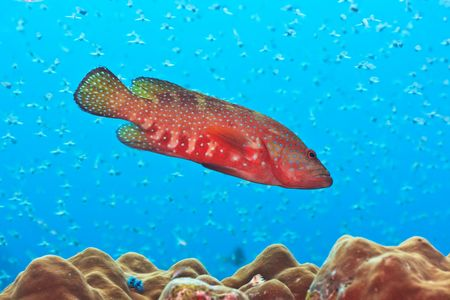 Big grouper underwater with a lot of small fishes Stock Photo - 6322867