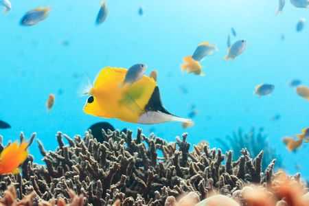 Tropical fish Yellow Longnose Butterflyfish swimming underwater. Andaman sea. Stock Photo - 6322861