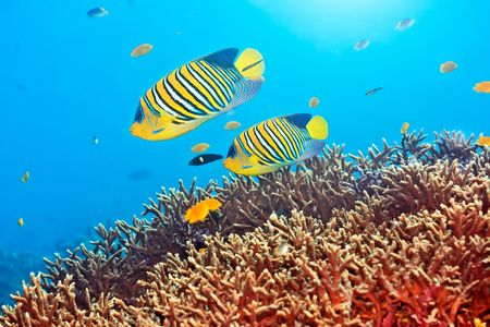 Underwater landscape with couple of  Royal angelfishes Stock Photo - 6322862