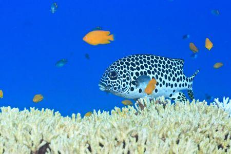 sweetlips: Tropical fish sweetlips swimming underwater. Andaman sea. Stock Photo