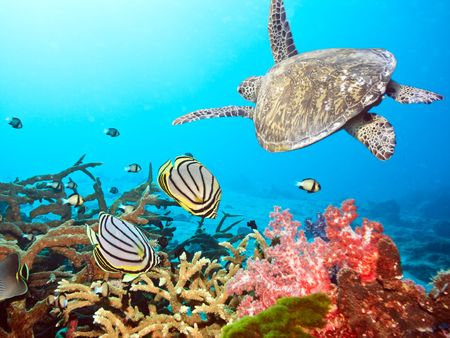 Underwater landscape with couple of  Butterflyfishes and turtle Stock Photo