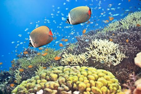 pygoplites diacanthus: Underwater landscape with couple of Red-tailed Butterflyfishes (Chaetodon collare)
