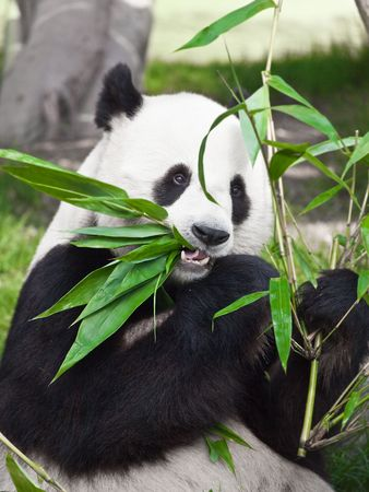 Giant panda is eating green bamboo leaf