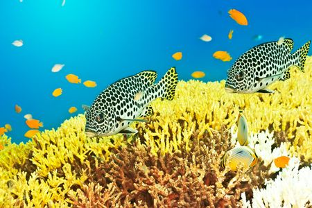 Underwater landscape with couple of Sweetlips Stock Photo - 6655398
